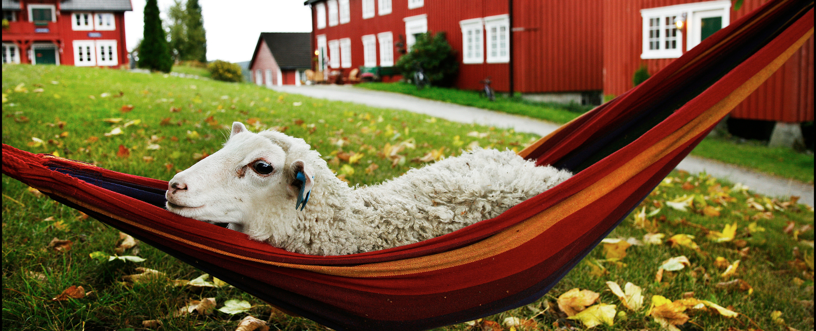 Sheep relaxing in the hammock at Berg Farm, a member of the Golden Road Photo: Magnar Kirknes
