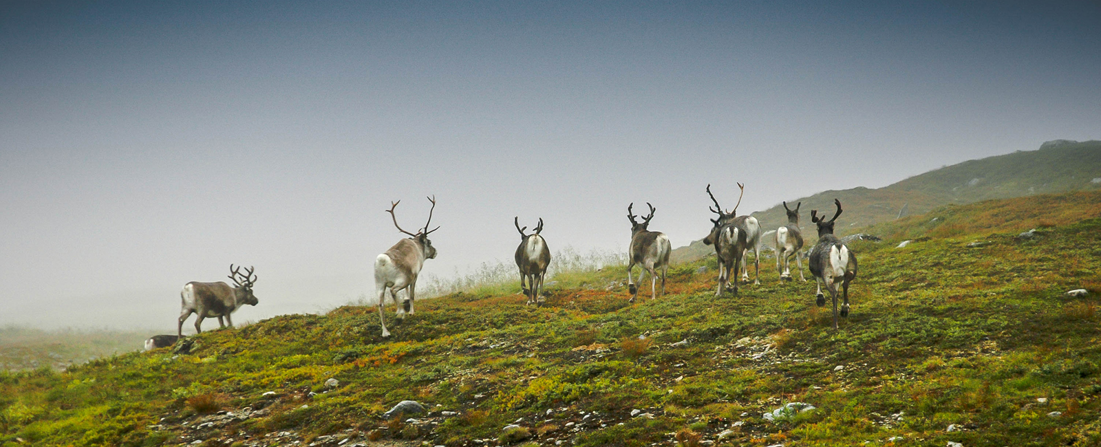 Reindeer in the Snåsa mountains. Photo: Olgeir Haug